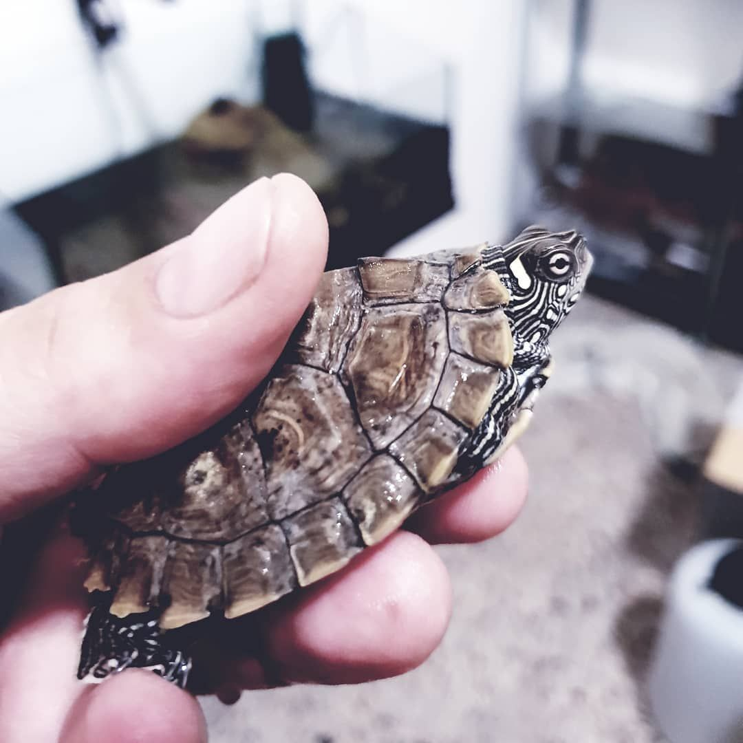 This Is Sora One Of My Mississippi Map Turtles As It Was When I Got It Back In May 2018 Pet Exoticbeauty Exoticpets E Pet Care Turtle