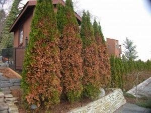 Garden Blog Central Pa Gardening Planting Blog Stauffers Arborvitae Landscaping Arborvitae Tree Conifers Garden