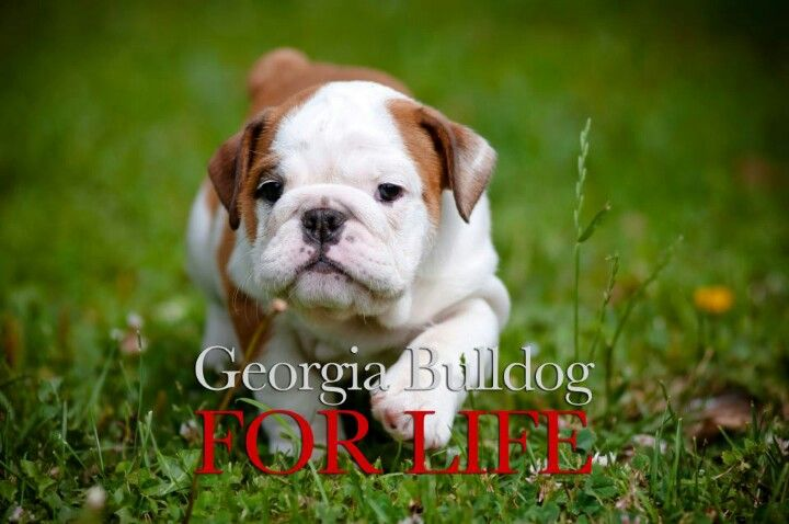 Georgia Bulldawgs Cute Baby Animals Bulldog Puppies Cute