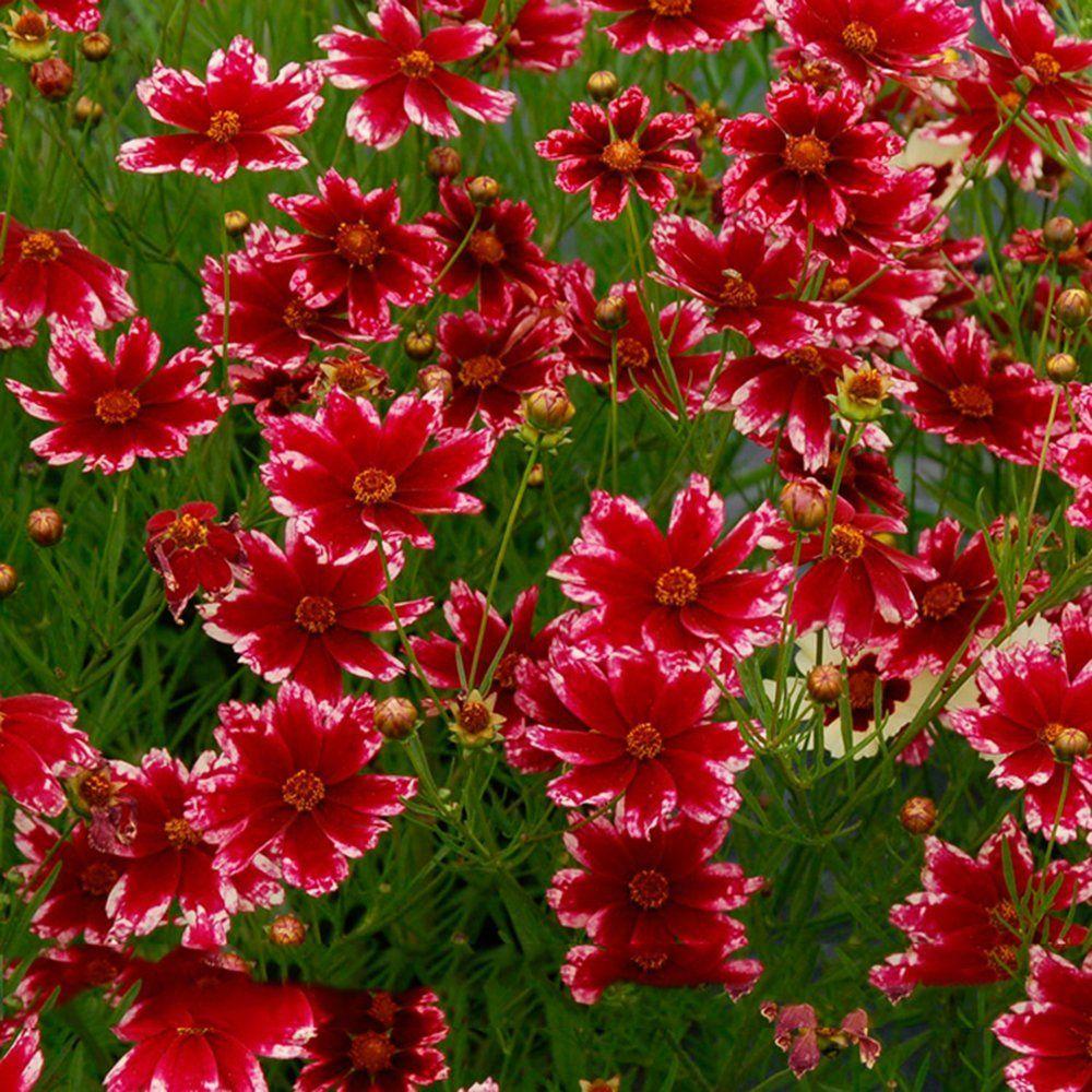 Amazon.com : Best Garden Seeds Rare Hardy Multi-color Jewel Ruby ...