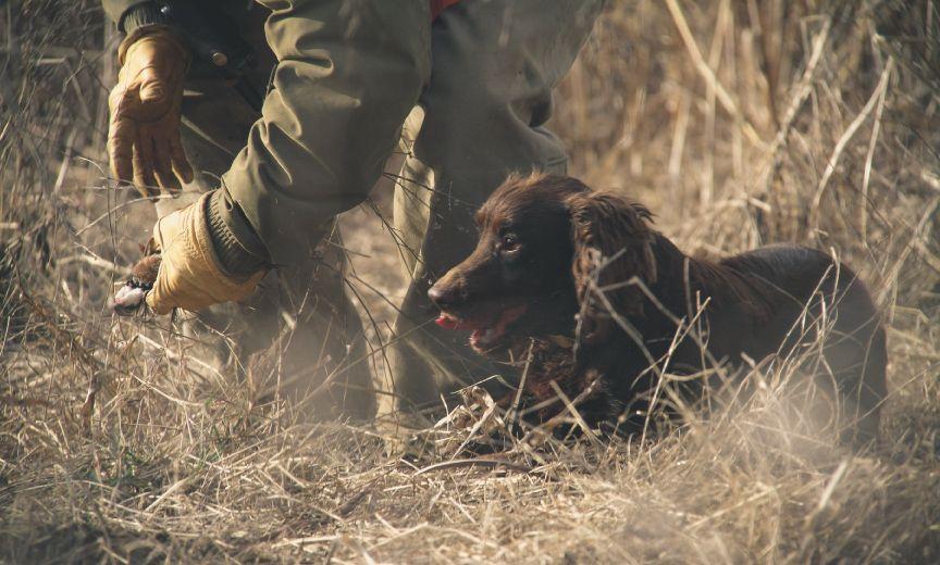 English Cocker Spaniel A Hunting Dog Breed Profile In 2020 Hunting Dogs Breeds Hunting Dogs English Cocker Spaniel