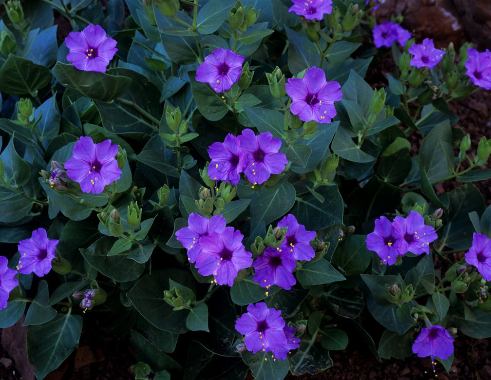 Four o clocks four oclocks in late afternoon mirabilis jalapas four o clocks these beautiful night blooming flowers are tender perennial they bloom in spring and summers these flowers are available in a number of mightylinksfo