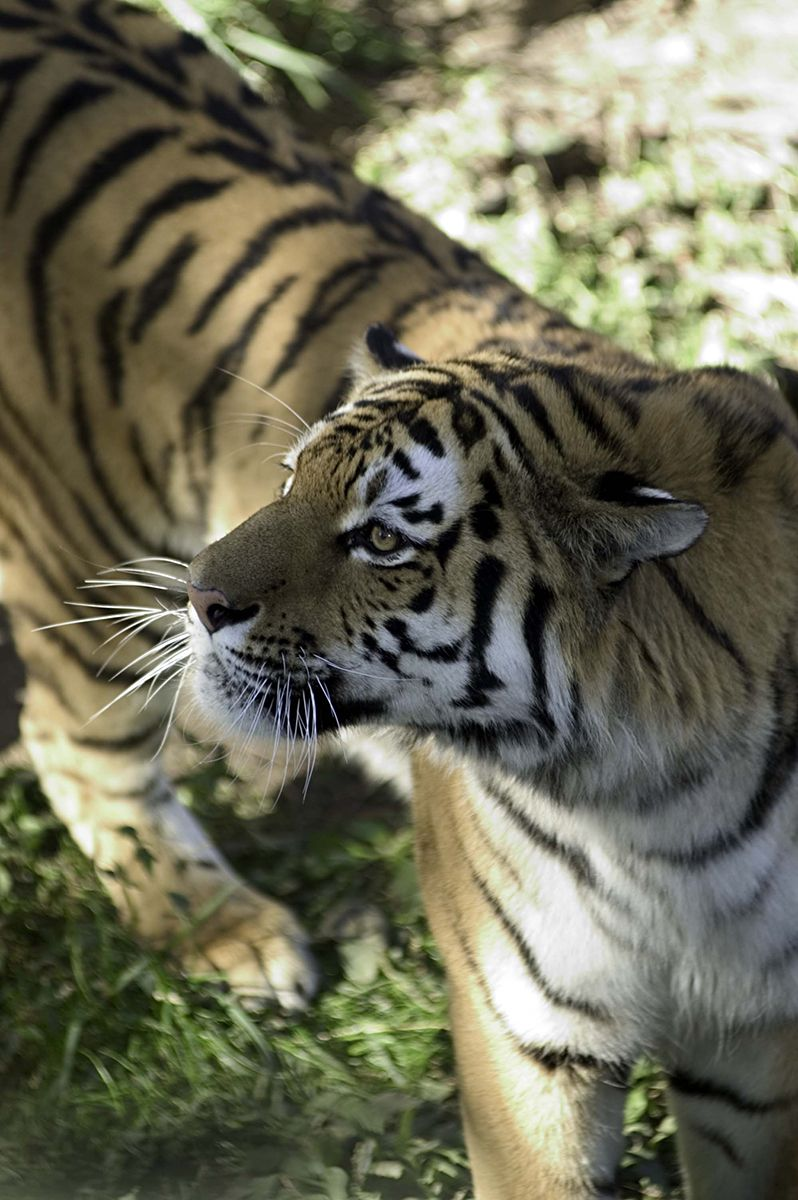 Amur tiger Pet tiger, Amur tiger, Animal facts