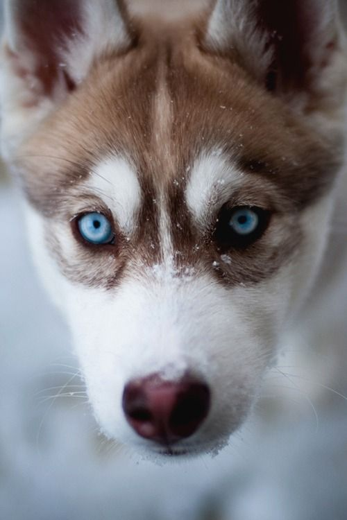 100 Tumblr With Images Puppies Siberian Husky Husky Puppy