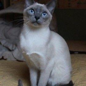 Tonkinese Blu Point Burmese Cat Tonkinese Tonkinese Cat