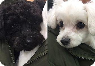 Fairfax Va Toy Poodle Maltese Mix Meet Yuri Pets Poodle Mix