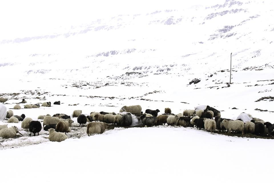 Sheep in Snow by Olivia Green — 2015 Traveler Photo Contest