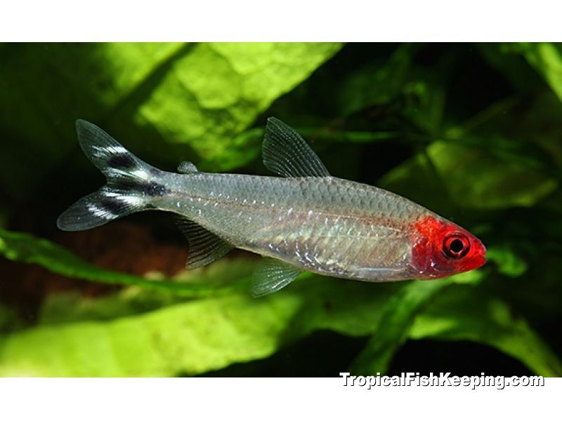 Brilliant Rummy Nose Tetra Hemigrammus Bleheri Profile Aquarium Fish Freshwater Aquarium Tetra Fish