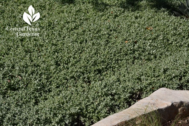 Woolly Stemodia Groundcover Drought Deer Resistant Central Texas Gardener Wild Waters Central Texas Drought