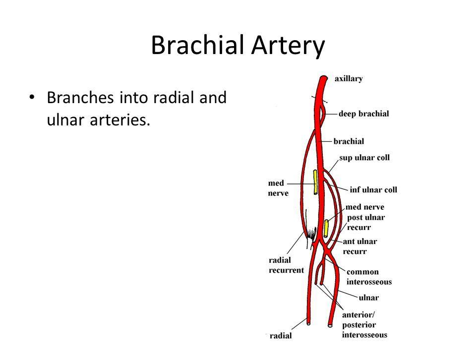 Image Result For Brachial Artery Branches Usmle Pinterest