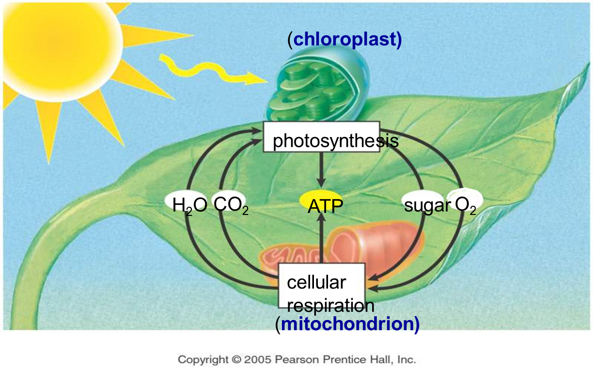 Plant Photosynthesis And Cellular Respiration | All things ...