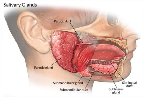 Salivary glands - Stones and Disorders | anatomy | Pinterest | Anatomía