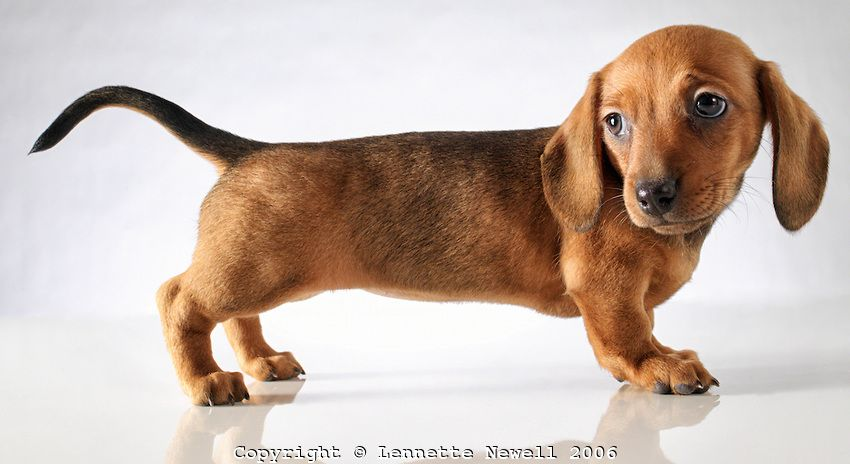 Dachshund Puppy Profile Lennette Newell Puppy Potty Training