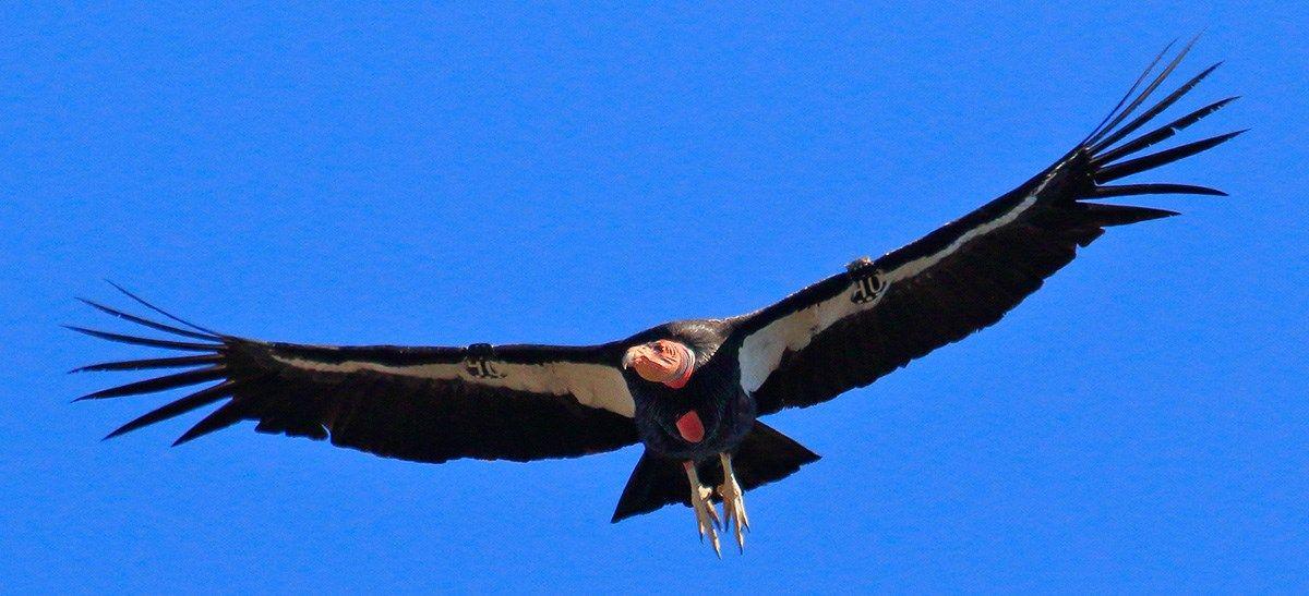 California Condor In Flight California Condor Wildlife Society National Parks