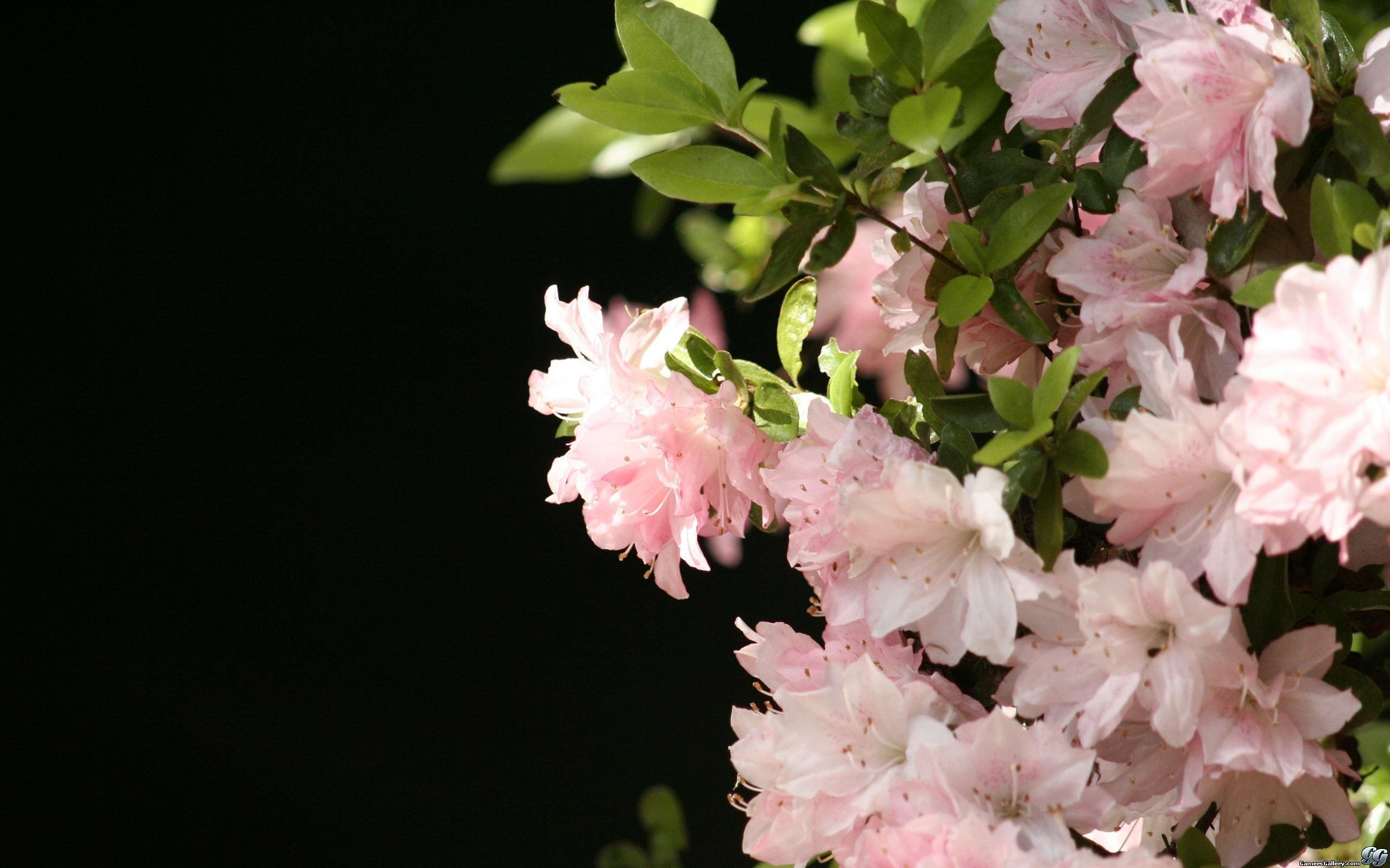 Cool Jasmine Flowers Awesome Pics Pinterest Beautiful Flowers