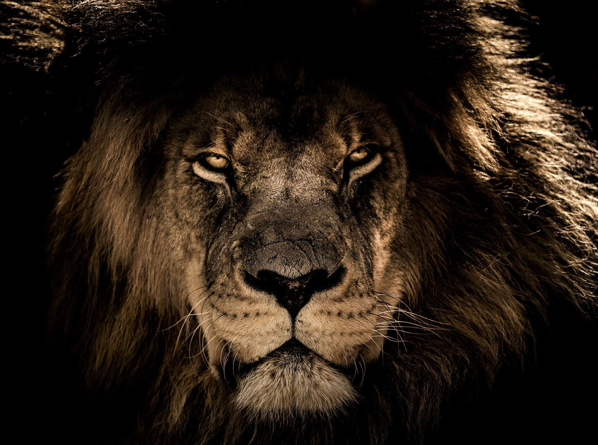 Compress Large Amazing Images Retain Quality On Twitter Lion Images African Lion Beautiful Lion