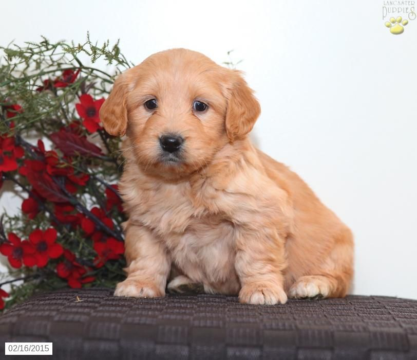 Mini Goldendoodle Puppy for Sale in Pennsylvania..Amish
