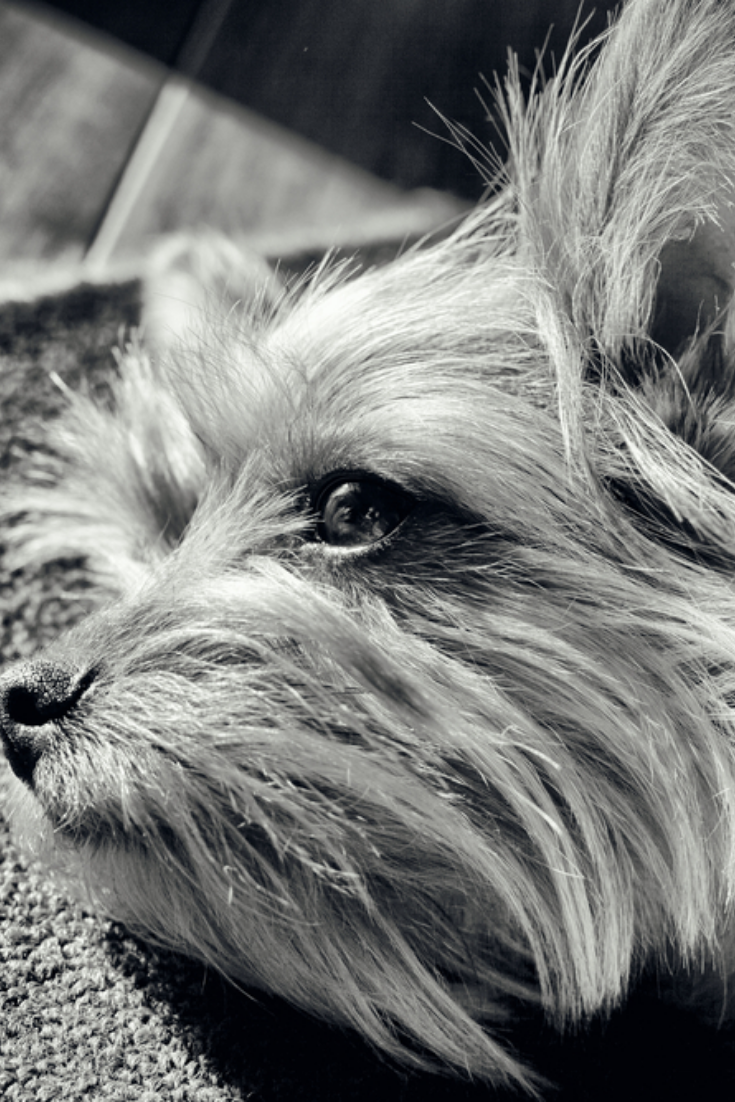 Image Of Yorkshire Portrait Black And White Yorkshireterrier Yorkshire Terrier Puppies Yorkshire Terrier Terrier