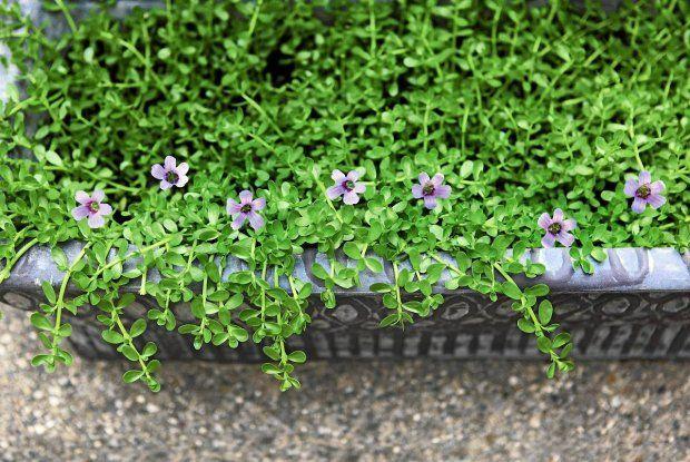Kwiaty Na Balkon Sloneczny Zacieniony I Wietrzny Herbs Brain Health Medicinal Herbs