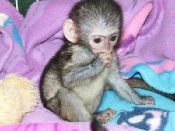 Pics For > Capuchin Monkeys For Adoption | monkeys | Baby