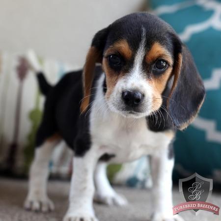 Beagle Puppy Sadie Beagle Puppy Beagle Beagle Funny