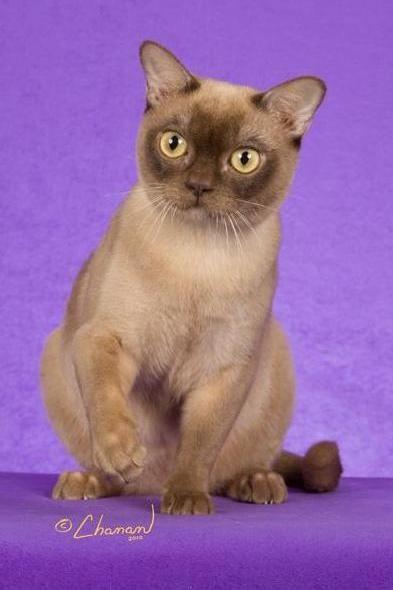 Traditional American Burmese Burmese Cat Burmilla Cat Crazy Cats