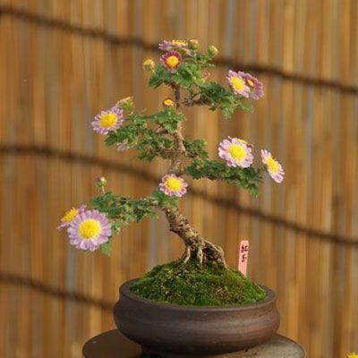 New England Bonsai Gardens New Mum S The Word Bonsai Garden Bonsai Bonsai Tree