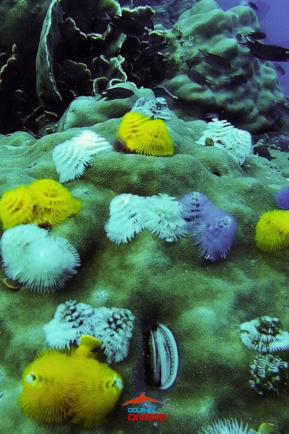 Christmas Tree Worm Koh Chang Thailand Dolphin Divers We Wish You A Merry Christmas