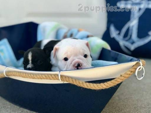 Bulldog Puppies For Sale 1180 2puppies Com Bulldogpuppies