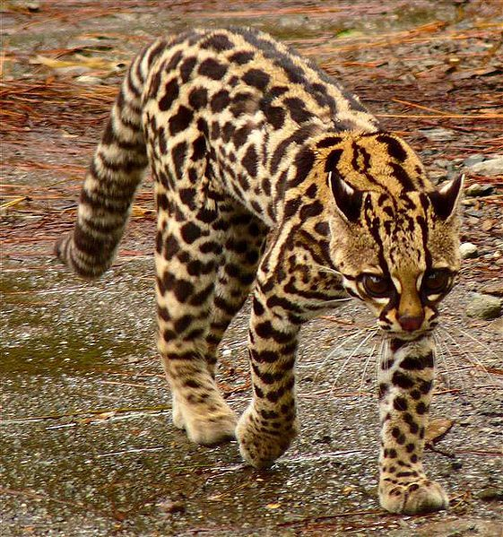 Ocelot es un nativo animal de Costa Rica, esta un pequeno gato.
