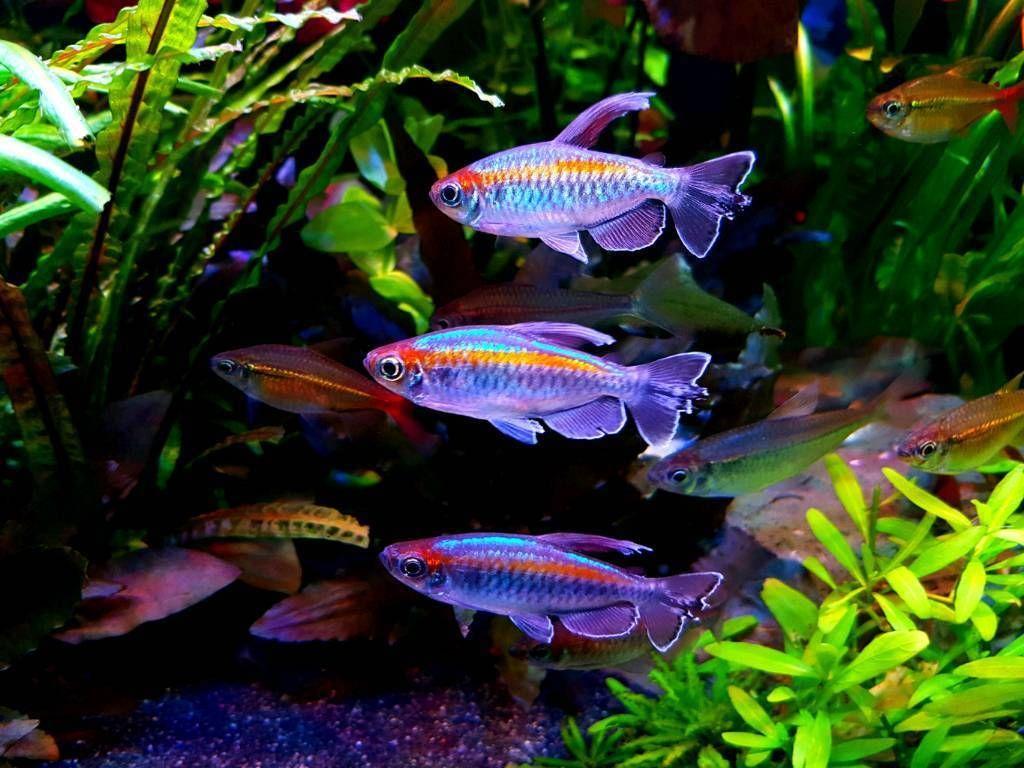 Image Result For Congo Tetra Fish Pet Aquarium Fish Tetra
