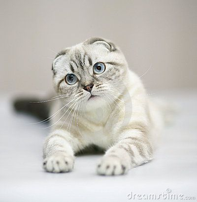 Scottish Fold Cat Pedigree Cats Cat Scottish Fold Cat Breeds