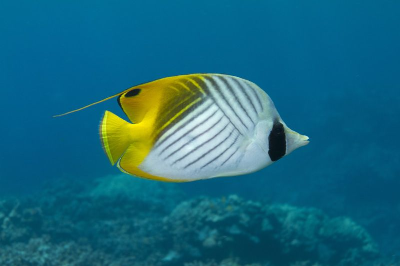 Underwater Photographer Marty Wakat 39 S Gallery Hawaiian Reef Fish Threadfin Butterflyfish Divephotoguide Com Underwater Photographer Fish Reef