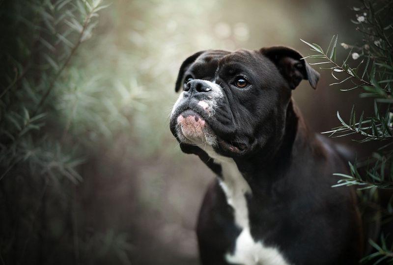Animal Boxer Dogs Dog Pet Boxer Wallpaper Wallpaper Grab Wallpapers Free Downloads Of Hd Wallpapers For Android Boxer Dogs Dog Wallpaper Iphone Pet Dogs