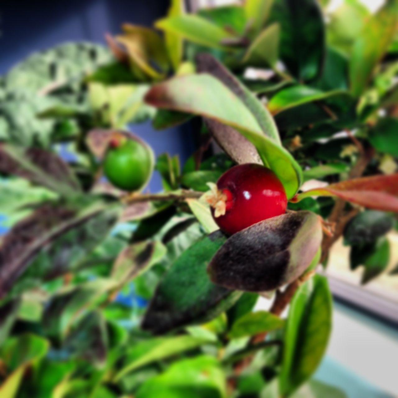 #aquaponics #aquaponic #hydroponics #aquaculture #food #veggies #fruit #organic