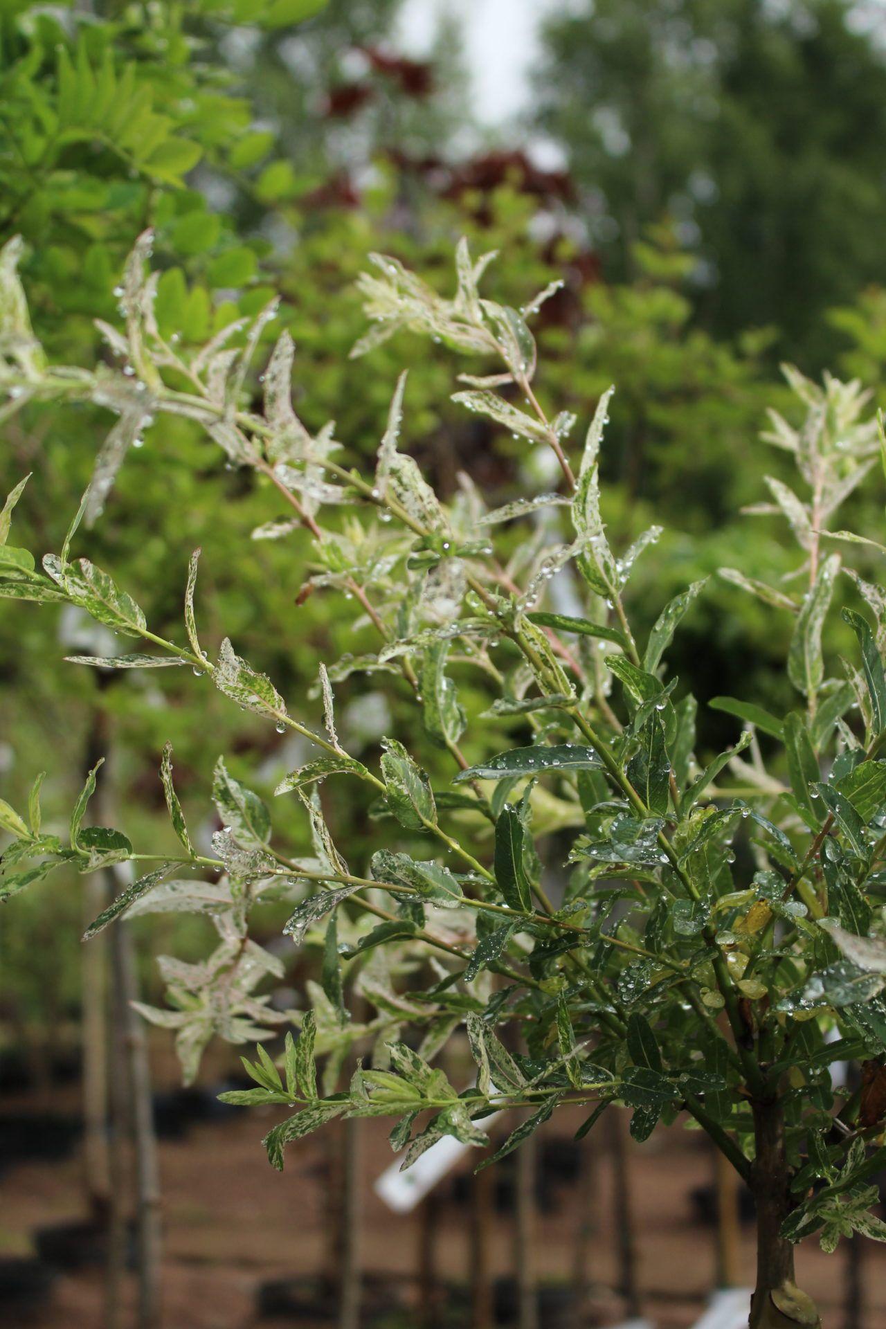 Hakuropaju nishiki Kaunis ja koristeellinen pikkupuu ruukkuistutuksiin. Lehdet valkean, vihreän ja roosan kirjavia. Talvehtii vain suojaisimmilla paikoilla.