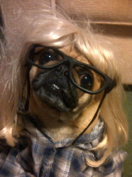 my pug vitos halloween costume this year - Pugs Halloween