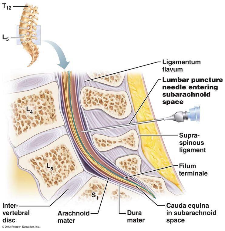 The Central Nervous System | Central Nervous System | Pinterest ...