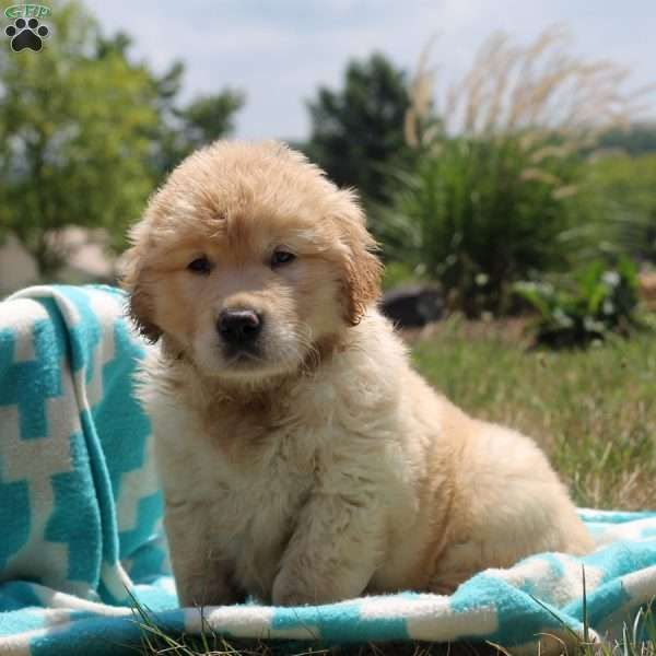 Harley Cairn Terrier Mix Puppy For Sale in Pennsylvania