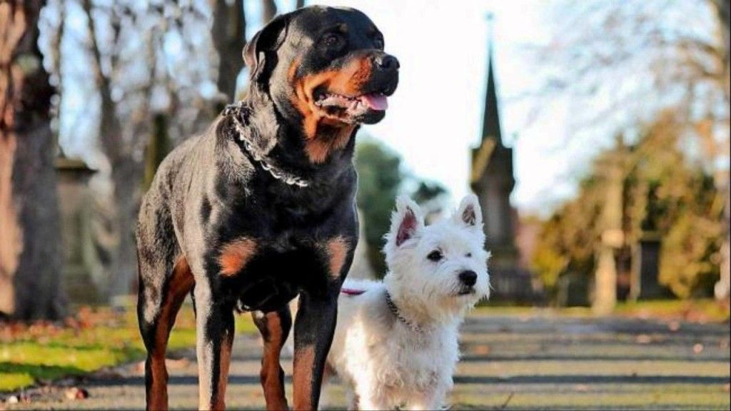 Introducing Your Rottweiler Puppy To Other Dogs Westie Puppies