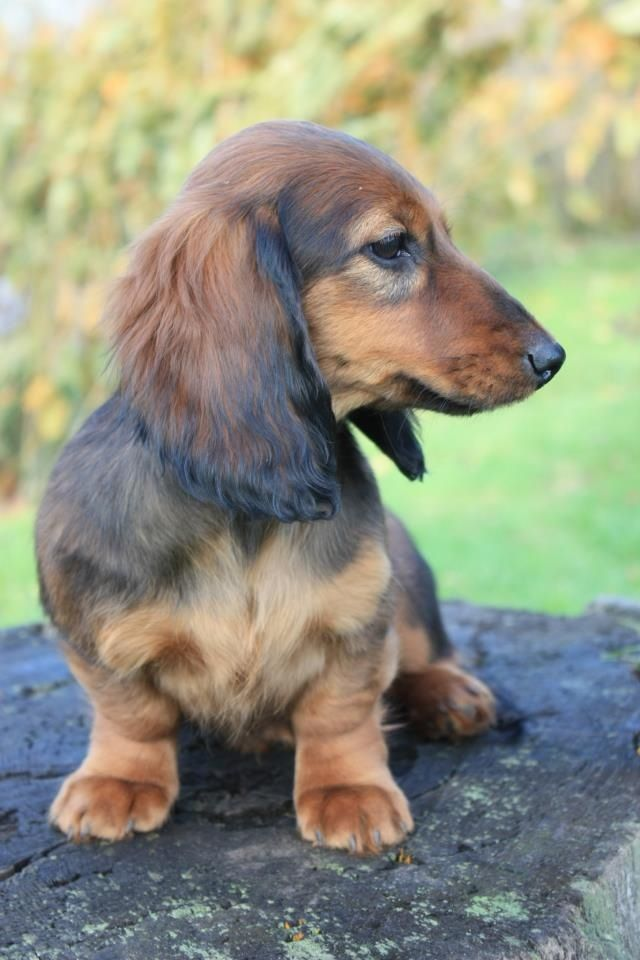 Pin By Lori Bouck Ciraulo On I Love Dachshunds Dachshund Puppies Wire Haired Dachshund Dachshund Mom