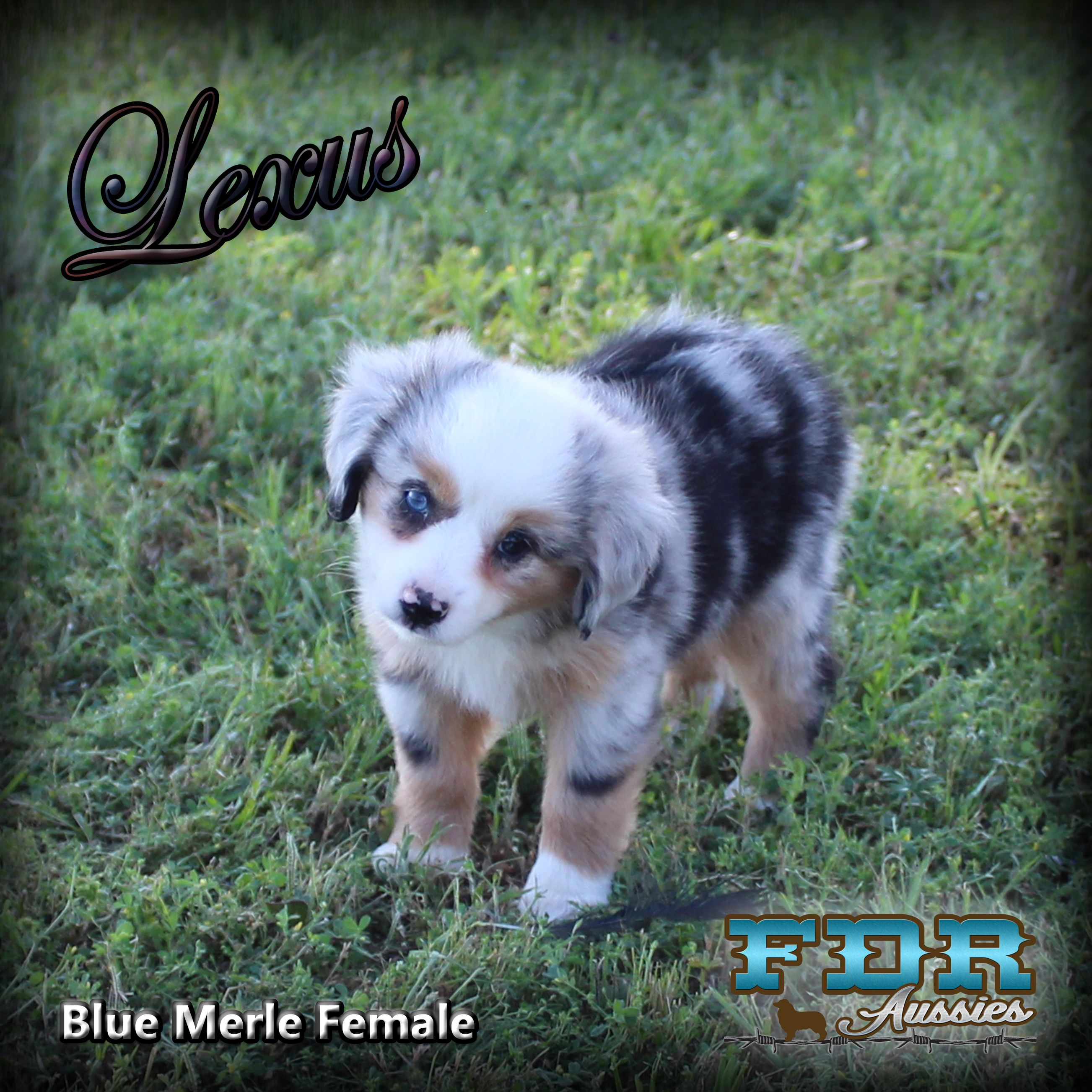 Rodeo Cowgirl Aussie Puppies Blue Merle Australian Shepherd Puppies