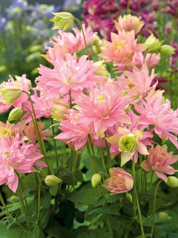 3 ancolies 39 clementine salmon rose 39 jardinage de fleurs vivaces pinterest ancolie plantes - Fleurs de jardin vivaces ...