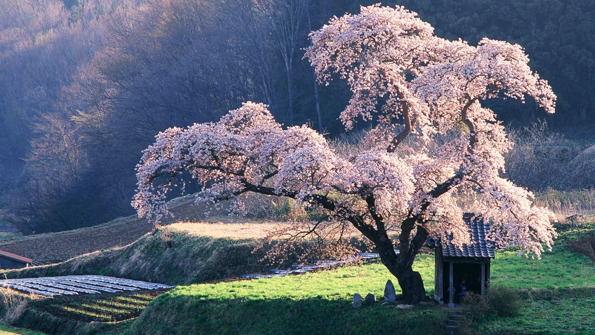 日本の風景 桜 壁紙 1920x1080 風景 美しい風景 日本 の 風景