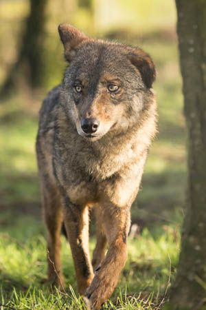 Iberian Wolf Pair Arrived At Knowsley Safari Park In Prescot Wolf Sisters Maria And Morena Came From Gaiazoo In The Netherlands And Safari Park Wild Dogs Wolf