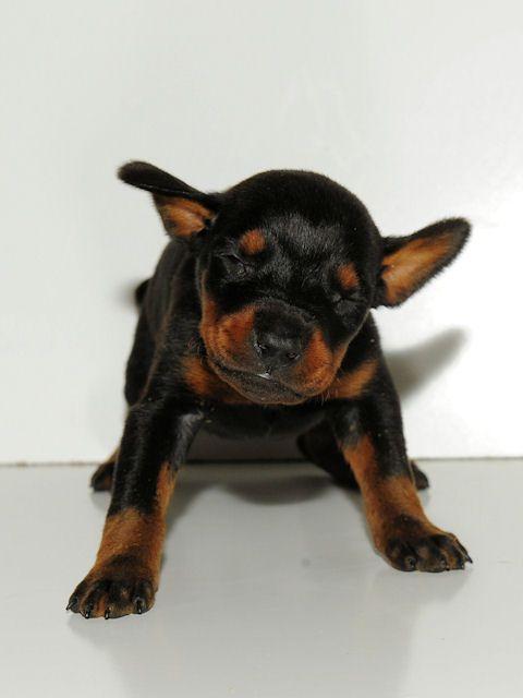 Cute Doberman Puppy Dog Pets Animals Doberman Pinscher