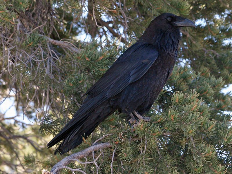 Raven And Crow Symbolism And Meaning Ravens Black Birds