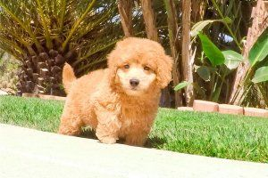 Handsome Male Mini Goldendoodle Puppy For Sale Now Laingsburg