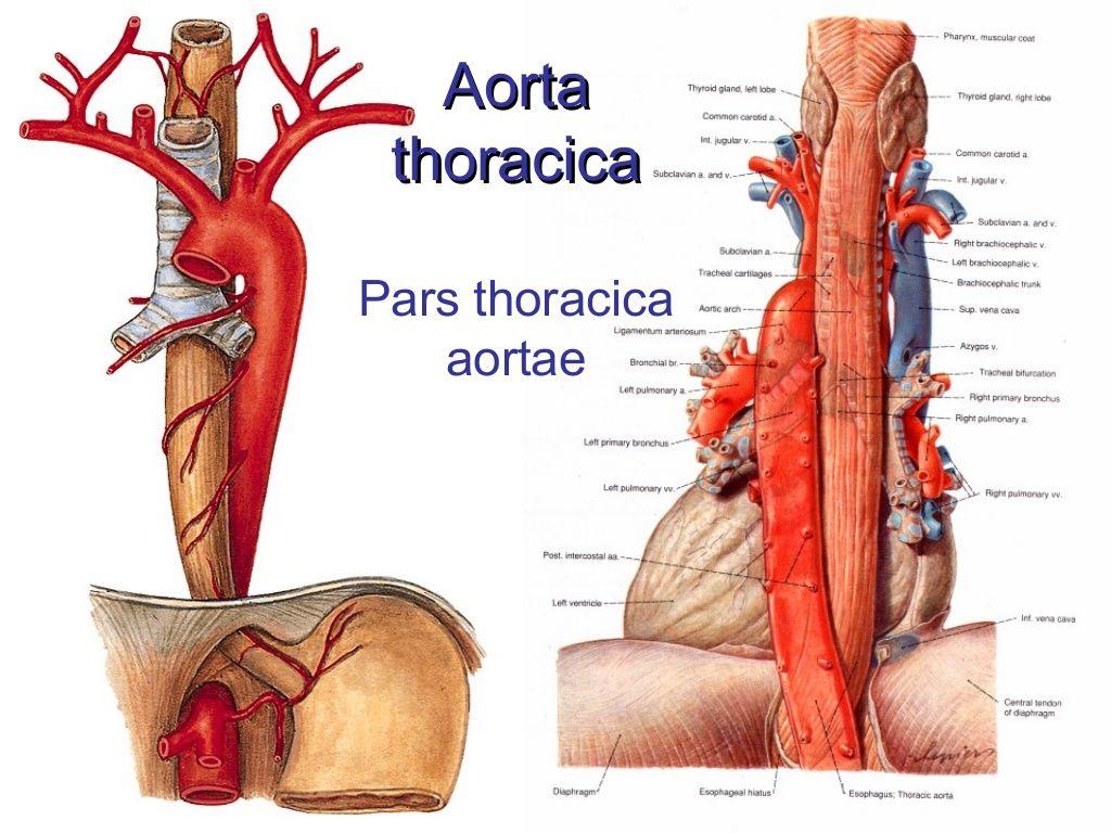 Aorta thoracica Pars thoracica aortae | anatomy | Pinterest