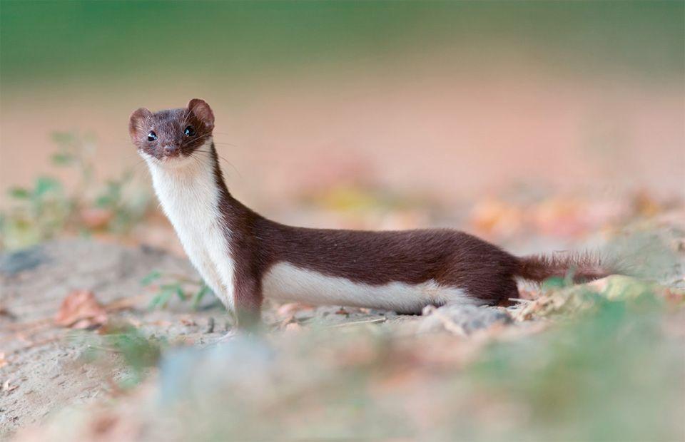 the least weasel mustela nivalis is the smallest of the genus